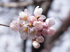 Another big Somei-yoshino tree (nofrills) Tags: flora floral plant plants flower flowers blossom blossoms cherry cherryblossom cherryblossoms season spring 桜 ソメイヨシノ urbantree japan 桜色 bud buds cluster beginning
