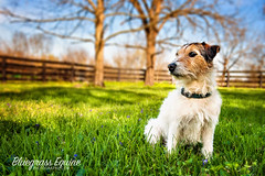 Huggs (Pony girl2 (catching up..again)) Tags: dog jackrussell terrier cute broken coat spring grass kentucky
