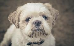 Dog-9160-2 (EB_Creation) Tags: dog white old tones oldtones sad looking lookingatyou shihtzucentral shallowdof shihtzu nikon nikond7100 nikkor nature naturallight 50mm 500mmf18 amateur amazing lovely look