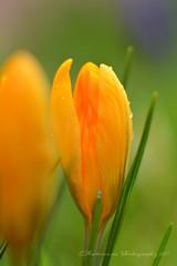 Sign of Spring - Crocus (EXPLORE) (Amberinsea Photography) Tags: crocus signofspring vår spring spring2017 printemps springflowers orange green macrophotography macro amberinseaphotography sweden nikon nikon85mm explore explored