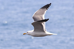 Seagull in Flight (Johnnie Shene Photography(Thanks, 2Million+ Views)) Tags: seagull gull westerngull aves laridae nature natural wild wildlife spreadwings limbs sideview photography horizontal outdoor colourimage fragility freshness nopeople foregroundfocus adjustment fulllength flapping korea korean jeju cheju depthoffield bokeh animal bird birding magnified telephoto midair fly flying flight vivid sharpness interesting awe wonder white behaviour canon eos600d rebelt3i kissx5 sigma apo 70300mm f456 dg macro zoom lens 갈매기 새 조류 비행 날개짓