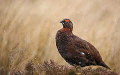 Red Grouse (forbesimages) Tags: red grouse glen moor amulree bird