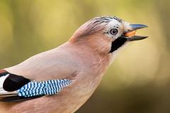 Jay close up (felt_tip_felon®) Tags: jay corvid bird feather wing beak bill eye profile portrait nature wildlife fauna