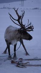 Reindeer 2 (onryzc1) Tags: norveç norway snow sledding