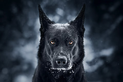 I am vengeance! I am the night! I am Batman! (DigitalBite) Tags: dog dogphotography pet petphotography animal germanshepherddog face eyes striking look dark darkness batman