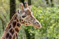 Giraf (JnHkstr) Tags: ouwehandsdierenpark zoo dierentuin rhenen