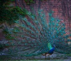 Pavão (Peacock) (Carlos Santos - Alapraia) Tags: pavão peacock ave pássaro bird