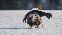 Black Grouse at the lek (Tris Enticknap) Tags: kuusamo blackgrouse kuntivaara nikkor300mmf4epfedvrlens nikond750 europe finland lyrurustetrix northernostrobothnia grouse