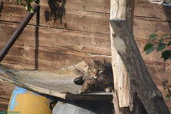 Neelix in the backyard. (PhotoTJH) Tags: phototjh mackerel pattern makreel patroon tabby cat kat kater feline european shorthair europese korthaar cyperse cyper grijs grey neelix animal pet huisdier phototjhnl eye oog nose neus