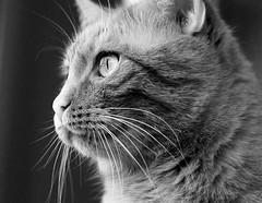 Yuri (Torsten Reuschling) Tags: katze cat chat blackandwhite schwarzweiss blancetnoir yuri sonyslta57 portrait eyes yeux augen close fermer nah contrast monochrome