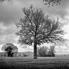 Mamiya039 (salparadise666) Tags: mamiya c330 sekor 80mm fuji neopan acros 100 caffenol cl semistand 35min nils volkmer vintage camera 6x6 medium format square hannover region calenberger land niedersachsen germany monochrome bw schwarz weis tree nature landscape rural dof structure contrast pittoresk