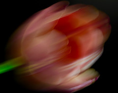 ZoomBloom (j.towbin ©) Tags: allrightsreserved© macro tulip motion intentionalblur incamerablur abstract flower macromondays