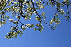 More Spring Flowering Tree (dr_marvel) Tags: newyork ny pittsford rochester flowers floweringtree spring blue bluesky erie eriecanal