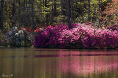 Morning by the lake (Irina1010) Tags: lake morning light reflections azaleas pink white red flowers bushes spring beautiful colorful nature canon callawaygardens outstandingromanianphotographers ngc npc