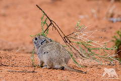 Whistling Rat (fascinationwildlife) Tags: animal mammal whistling rat rodent wild wildlife nature natur national park kgalagadi kalahari desert summer south africa pfeifhase