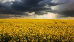 Dark and gold... (Alex Switzerland) Tags: serbia serbien landscape raps colza clouds sky yellow paesaggio outdoor spring primavera color canon eos 6d