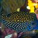 Spotted Boxfish, transitioning phase - Ostracion meleagris