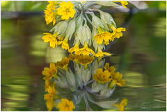 IMG_3736 (Derek.S) Tags: burntwood england unitedkingdom gb garden flowers reflection cowslip