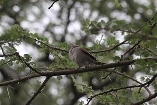 IMG_4988 - Swahili (Passer suahelicus) Sparrow - Ndutu, Tanzania (GPS #375)