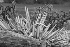 Gestachel (Sockenhummel) Tags: botanischergarten botanischergartenberlin kaktus kakteen kaktusfeld sw schwarzweis mono uni monochrom einfarbig blackwhite bw baumstamm fuji x30 fujifilm finepix fujix30