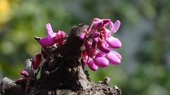 Κουτσουπια DSC02180 (omirou56) Tags: δεντρο κουτσουπια λουλουδια ανοιξη φυση κοντινο αιγιο ελλαδα πελοποννησοσ 169ratio tree blossom nature natur natura macro