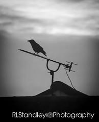 Crow (RLStandleyPhotography) Tags: crow crows corvid corvids bird birds animal animals