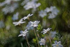 _DSC0143 (kymarto) Tags: bokeh bokehlicious bokehphotography dof depthoffiled flowers flowerphotography spring seasons japan beauty beautiful sony sonynex7 sonyphotography oldlens vintagelens wollensak