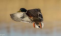 Mallard , Strumpshaw fen, Norfolk Broads. (kev.fulcher) Tags: mallard norfolkbroads strumpshawfen birds nature animals wildlife