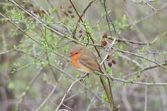 Robin (ChrisPy63) Tags: england sigma nikon nikond7200 silverdale nature britain uk spring outside rspbreserves leightonmoss lancashire britishbirds birds bird robin