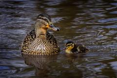Chick 2017 (stevehimages) Tags: steve steveh stevehimages middleton middletonlakes duck mallard wowzers warden west midlands grandpas grandpasden den chick 2017