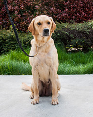 Eliza front (Guide Dogs for the Blind) Tags: breeder brood