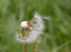 Make a wish (Geosephine) Tags: makeawish dandelion papadie primavara spring