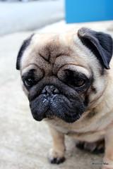 Wee Barack (mootzie) Tags: dog pet pug barack black tan wee cute gorgeous posing