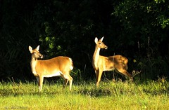 """""""Early Morning Ladies"""" (Gary Helm) Tags: ghelm4747 garyhelm doe deer whitetaileddeer florida joeoverstreet osceolacounty sx60hs powershot canon camera image photograph nature outside outdoor wildlife animal mamal female lakemarionroad forest twigs leaves grasses does explore"""