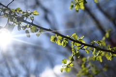 (¤ Chris ¤) Tags: spring light lys forår sun sol beautifulday blå blue green grønt flare skær clouds skyer tree træ branch gren forårsdag