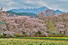 Southern alps,Yamanashi,Japan (namhdyk) Tags: japan yamanashi southernalps flower spring canon canonpowershot canonpowershotg7x