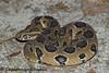 Russell's Viper (Chaitanya Shukla) Tags: daboiarusselii macro maharashtra pune reptilesandamphibiansofindia russellsviper snakesofindia viperidae vipers india