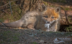 Fox Kit- Killer Instinct (Chris St. Michael) Tags: foxkit redfox kit fox wildlife cute nature killer
