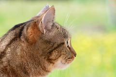 Mirrored eye (dfromonteil) Tags: eye look regard cat chat katze animal portrait bokeh brown green vert marron nature light lumière