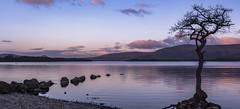 Milarrochy Bay, Loch Lomond (jasty78) Tags: milarrochytree milarrochybay milarrochy lochlomond loch tree sunrise scotland nikon d5200 sigma35mmf14
