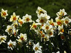 Daffodils in the Wilderness, Hidcote Manor Garden, Gloucestershire, 3 April 2017 (AndrewDixon2812) Tags: hidcote manor garden nationaltrust cotswold cotswolds chipping campden gloucestershire daffodils narcissus wilderness