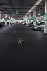 supermarket parking lot dog (the foreign photographer - ฝรั่งถ่) Tags: supermarket parking lot tesco lotus barking dog collar bangkhen bangkok thailand sony rx100 laksi