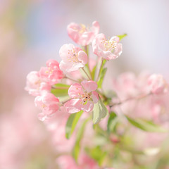 Spring Blossom (paulapics2) Tags: blossom bluten floral flora fleur blümen nature plant pastel soft pretty feminine canoneos5dmarkiii sigma105mmf28exdgoshsmmacro hydehallgardens rhshydehall outdoor spring primavera frühling april springtime