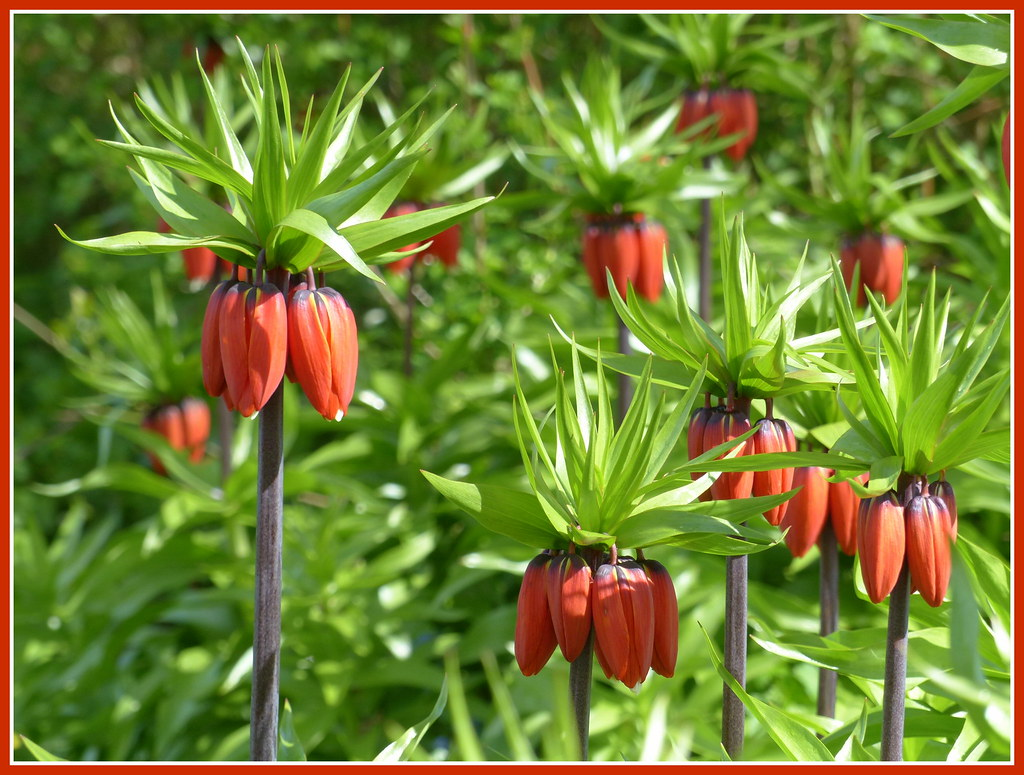 the world 39 s best photos of fritillariaimperialis and orange flickr hive mind. Black Bedroom Furniture Sets. Home Design Ideas