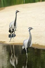 Grues demoiselles (olivier.ghettem) Tags: zoodeparis zoodevincennes zoo gruedemoiselle grue grues parczoologiquedeparis paris oiseau oiseaux bird birds afrique africa