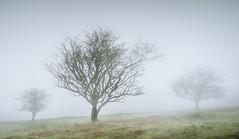 Dance (the milster) Tags: olympus dartmoor misty em1 1240mm milster tree hawthorn m43 microfourthirds
