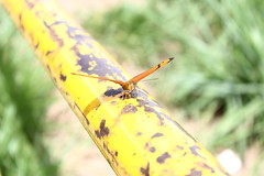 Borboleta bairro São João JM - Wir Caetano - 26 04 2017 (16) (dabliê texto imagem - Comunicação Visual e Jorn) Tags: borboleta inseto amarelo escada ferrugem