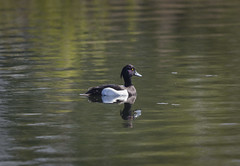 What a handsome chap! (Chris Bainbridge1) Tags: aythya fuligula male tufted duck lackfordlakes suffolk