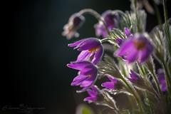 Kuhschellen (Eleonora Lengemann) Tags: kuhschellen kuhschelle lila pink macro makro licht light natur botanischer garten sony α 7 alpha sigma 150