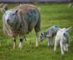 New Spring Arrivals (Missy Jussy) Tags: lambs sheep field farm farming farmland springtime spring rochdale landscape lancashire england canon canon70200mm canon5dmarkll
